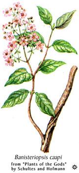 banisteriopsis_caapi.jpg