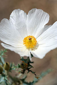 prickly-poppy-argemone-mexicana.jpg