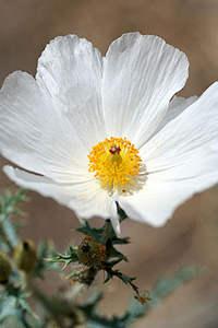 prickly-poppy-argemone-mexicana.jpg