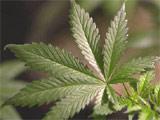 160x120_marijuana.jpg