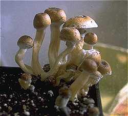 Stropharia-Cubensis.jpg
