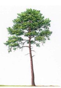 yohimbe-tree.jpg