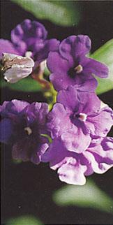 brunfelsia_grandiflora.jpg