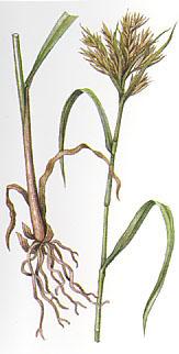 cymbopogon_densiflorus.jpg