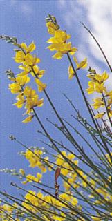 cytisus_canariensis.jpg