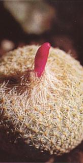 epithelantha_micromeris.jpg