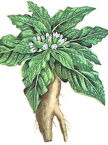mandragora_officinarum.jpg