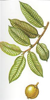 maquira_sclerophylla.jpg