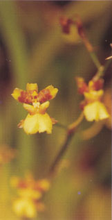 oncidium_cebolleta.jpg