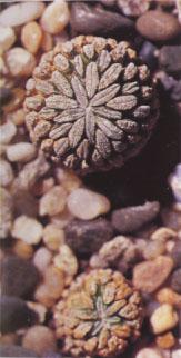 pelecyphora_aselliformis.jpg
