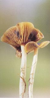 psilocybe_cyanescens.jpg