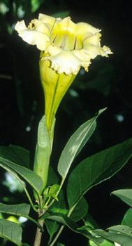 Solandra_grandiflora.jpg